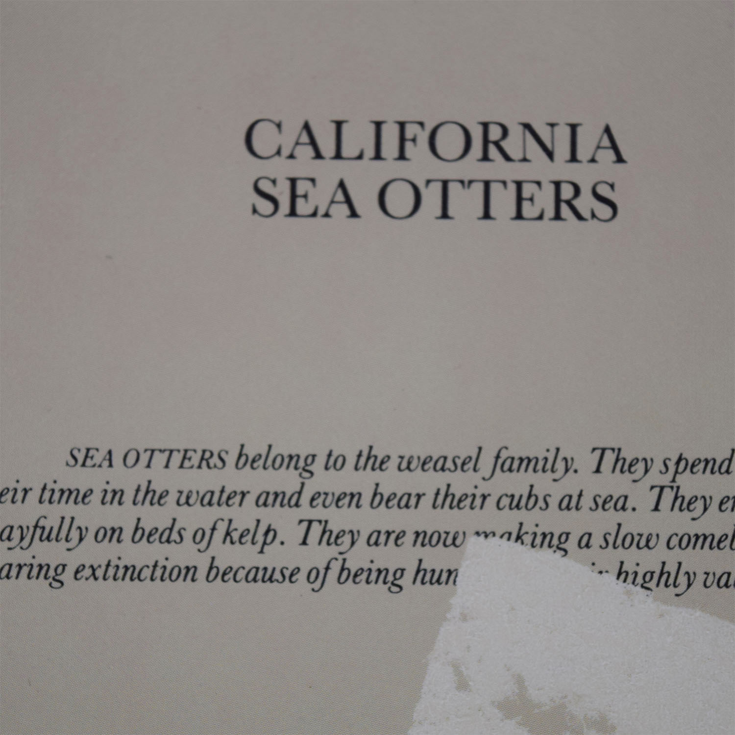 Portal Productions California Sea Otters Lithograph Portal Productions, Ltd.