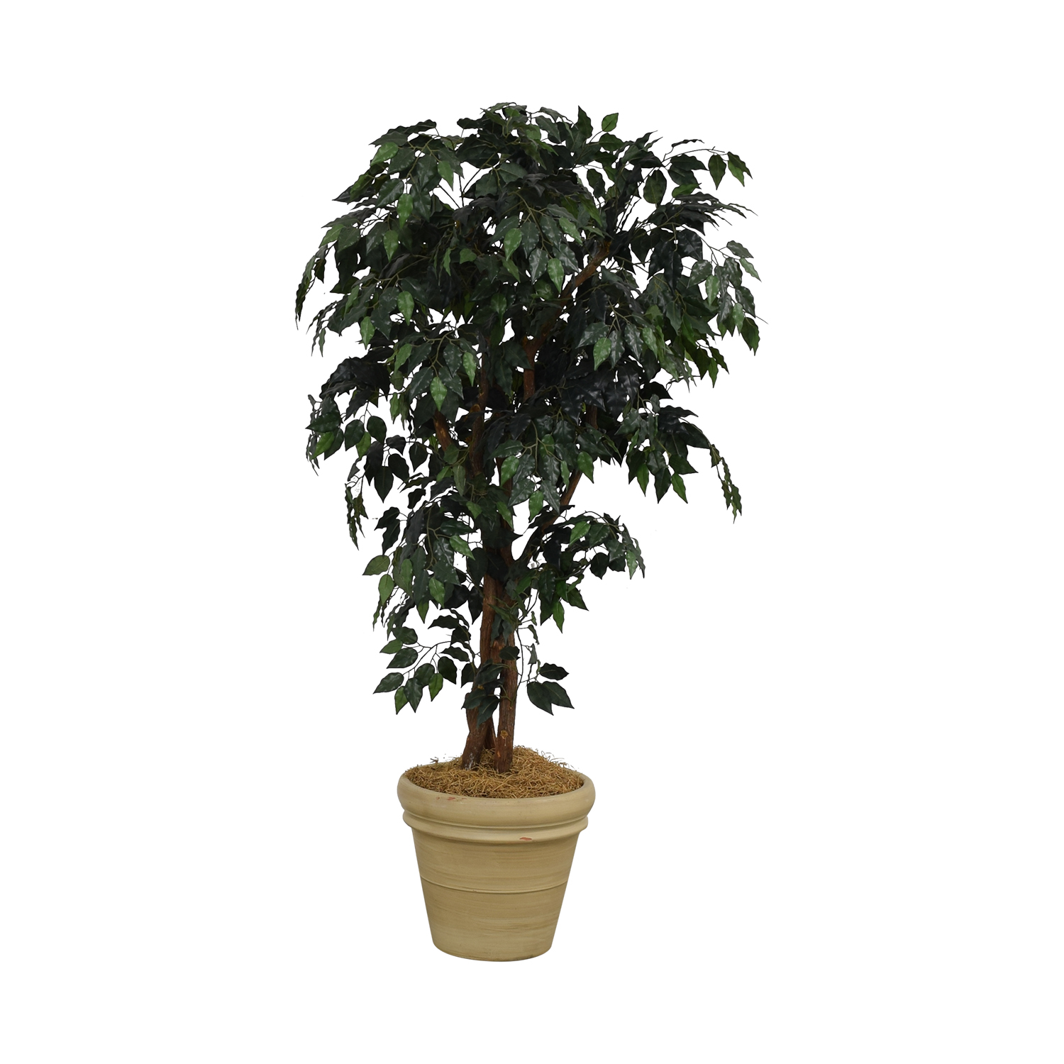buy  Ficus Tree in Cream Base online