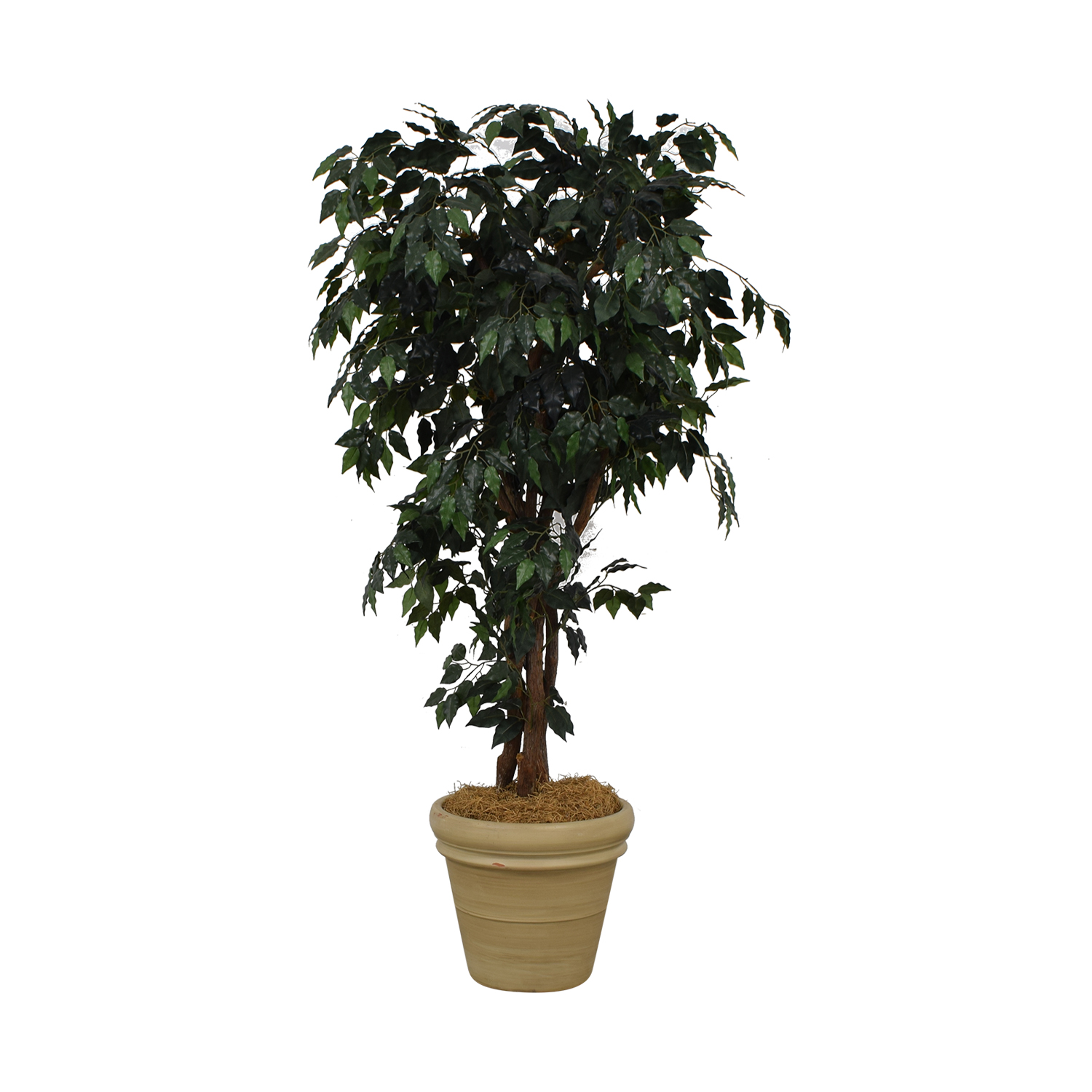 shop Ficus Tree in Cream Base  Decor