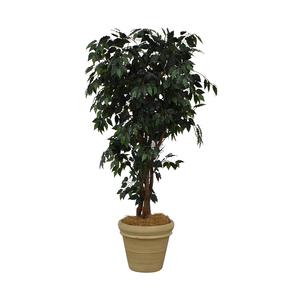 Ficus Tree in Cream Base sale